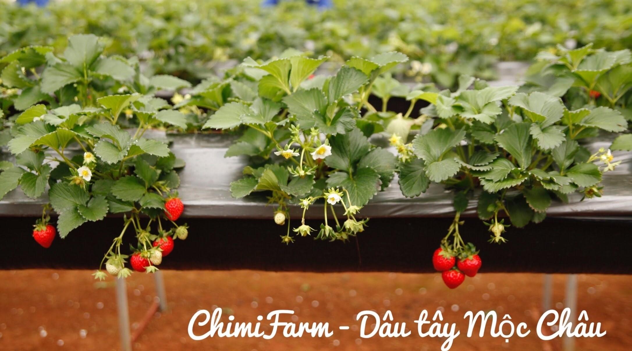 Những trái dâu tây Chimi Farm chín đỏ mọng