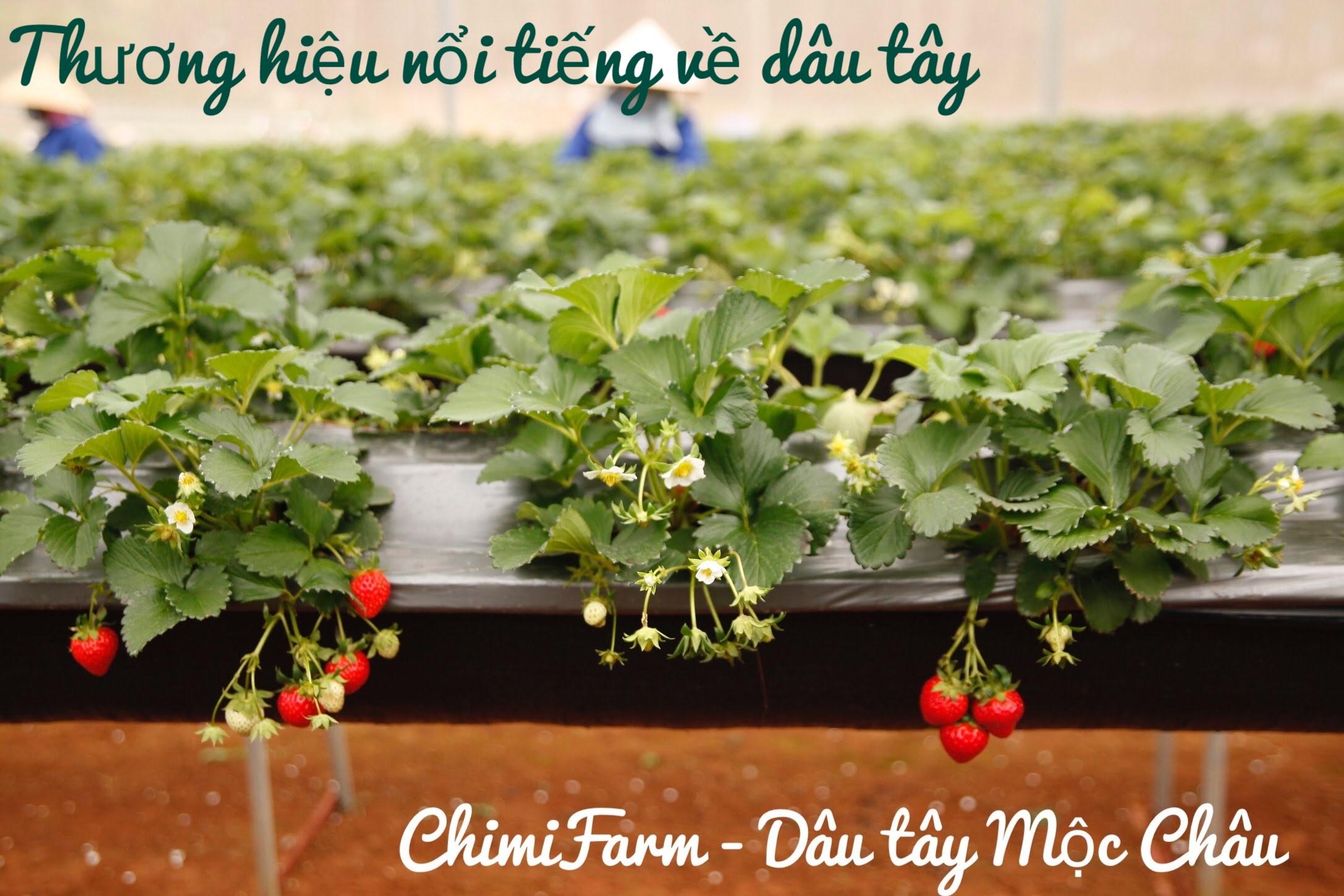 Chimi Farm là thương hiệu nổi tiếng về dâu tây Mộc Châu