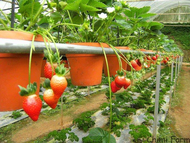Nếu trồng tại nhà bạn nên để chậu ở nơi thoáng mát và có ánh nắng