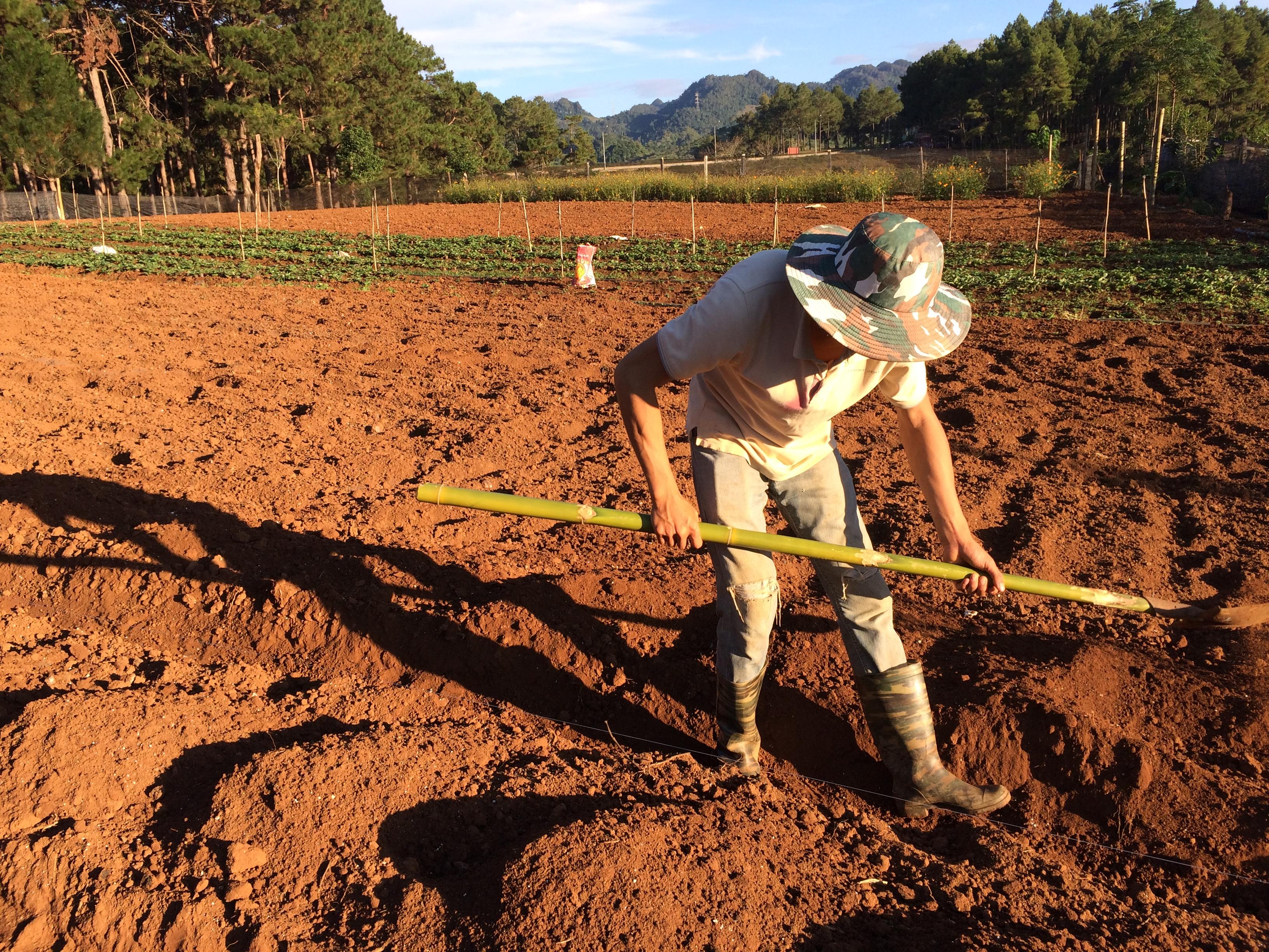 Lên luống trồng dâu tây