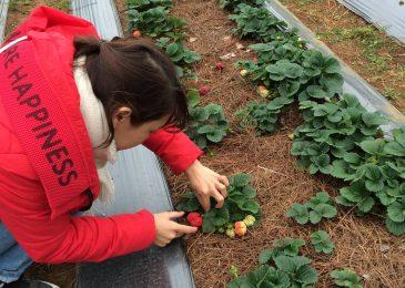 Hái dâu tây tại vườn Chimi Mộc Châu