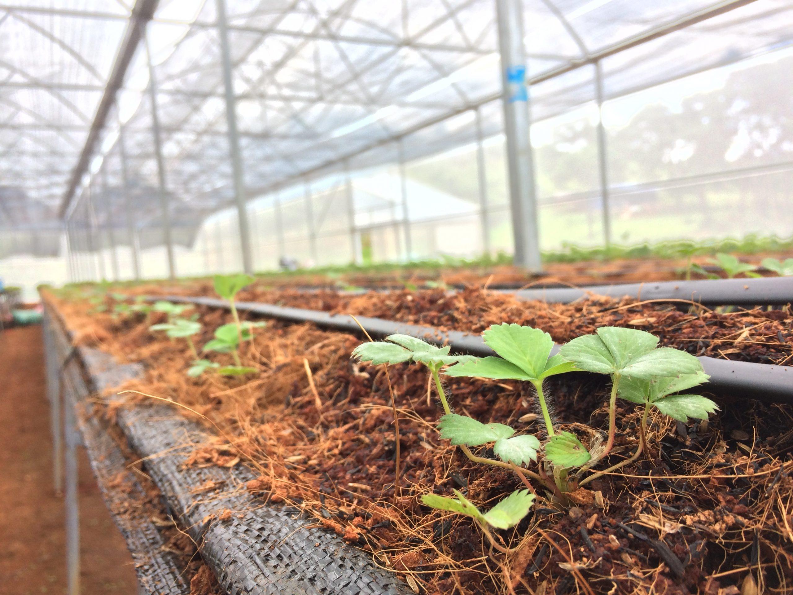 Kỹ thuật trồng, chăm sóc và thu hoạch dâu tây tại Chimi Farm Liên hệ mua cây dâu tây giống Hana, tư vấn kỹ thuật 082.989.1110