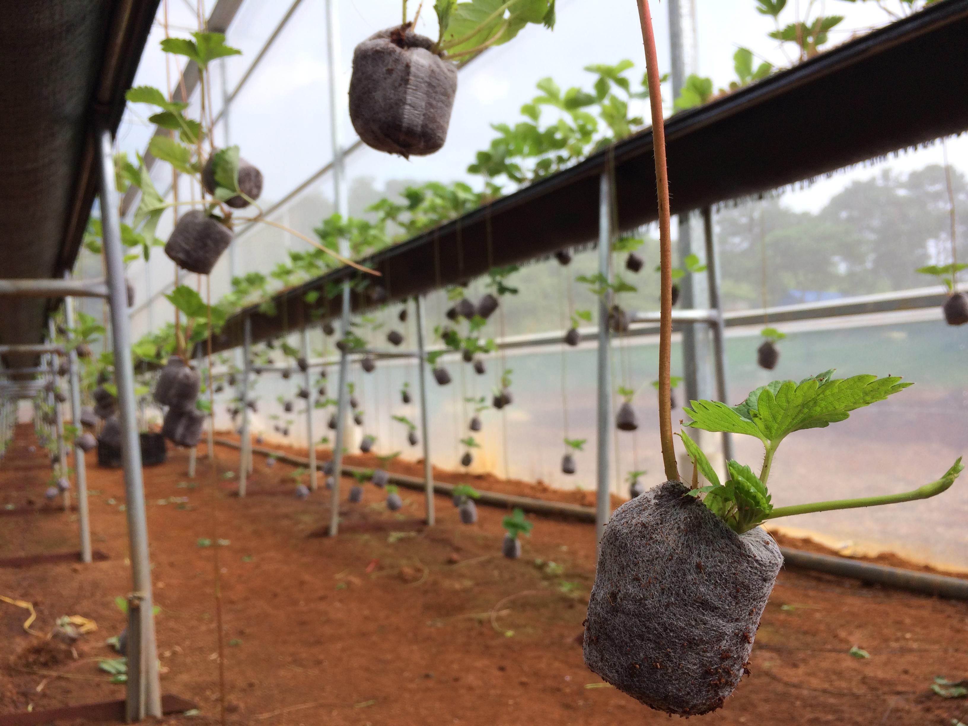 Hướng dẫn dùng viên nén xơ dừa ươm cây giống dâu tây