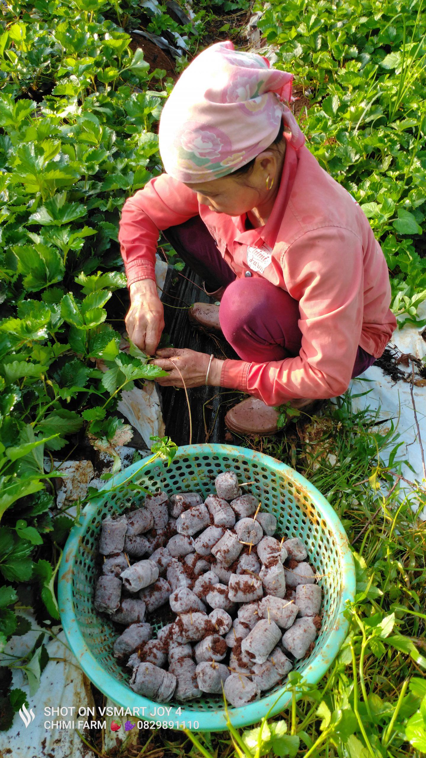 Mua cây dâu tây giống hana 082.989.1110