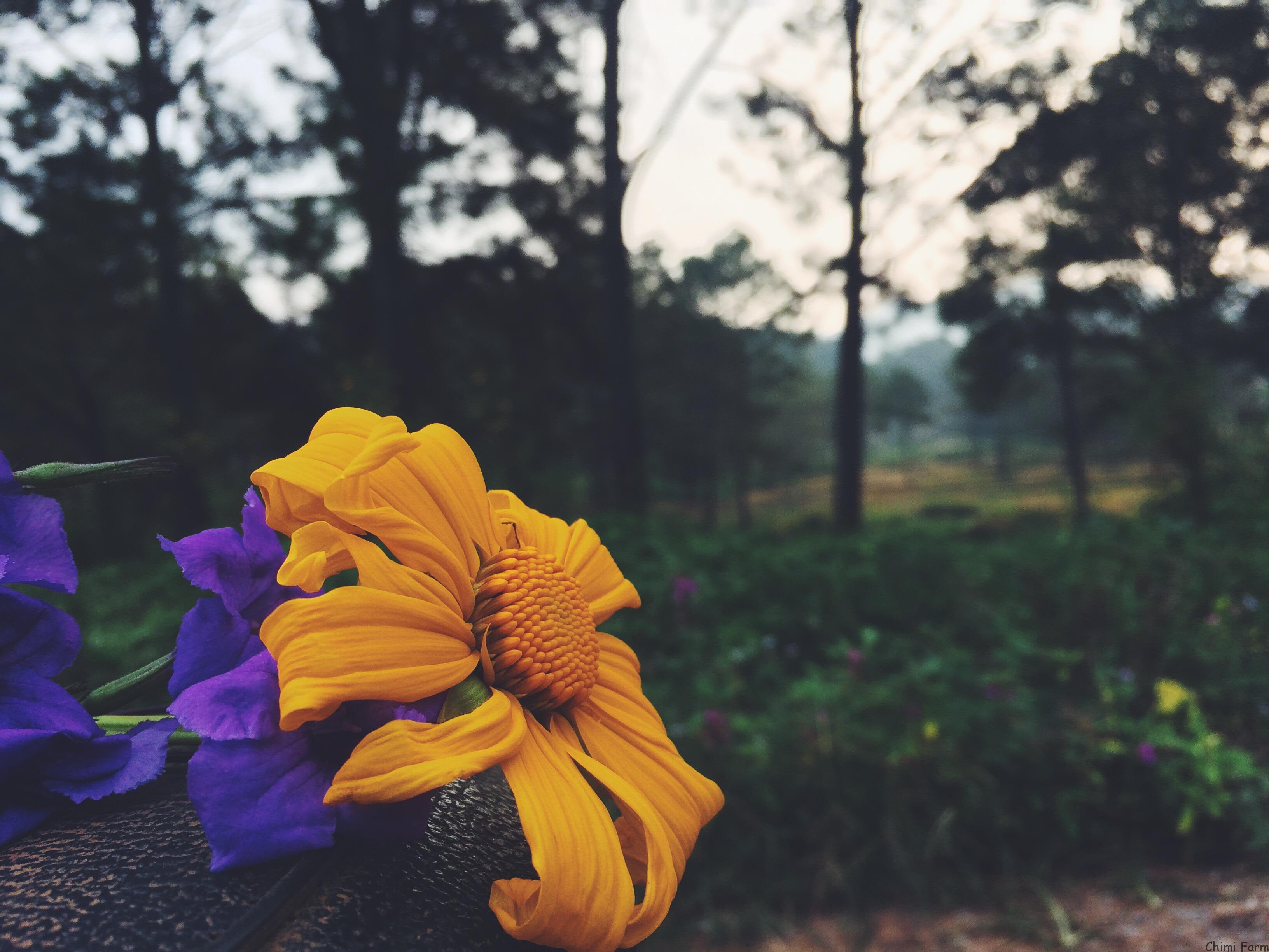Những bông hoa dã quỳ Mộc Châu rực rỡ giữa ngày đông giá rét