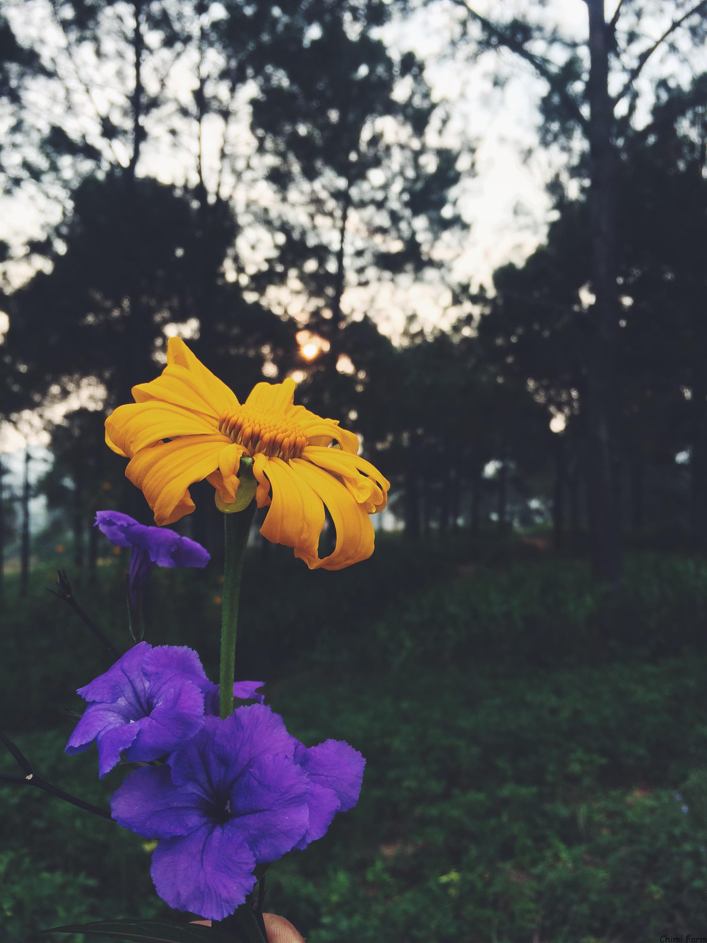 Dã qùy Mộc ChâuLoài hoa có thể sống vươn lên giữa những ngày đông giá lạnh
