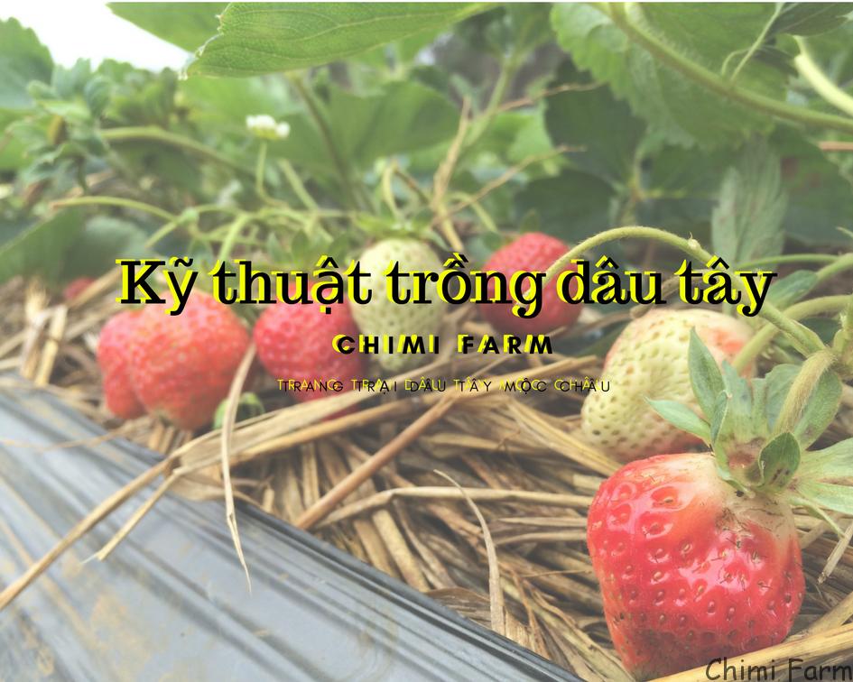 Kỹ thuật trồng, chăm sóc và thu hoạch dâu tây tại Chimi Farm