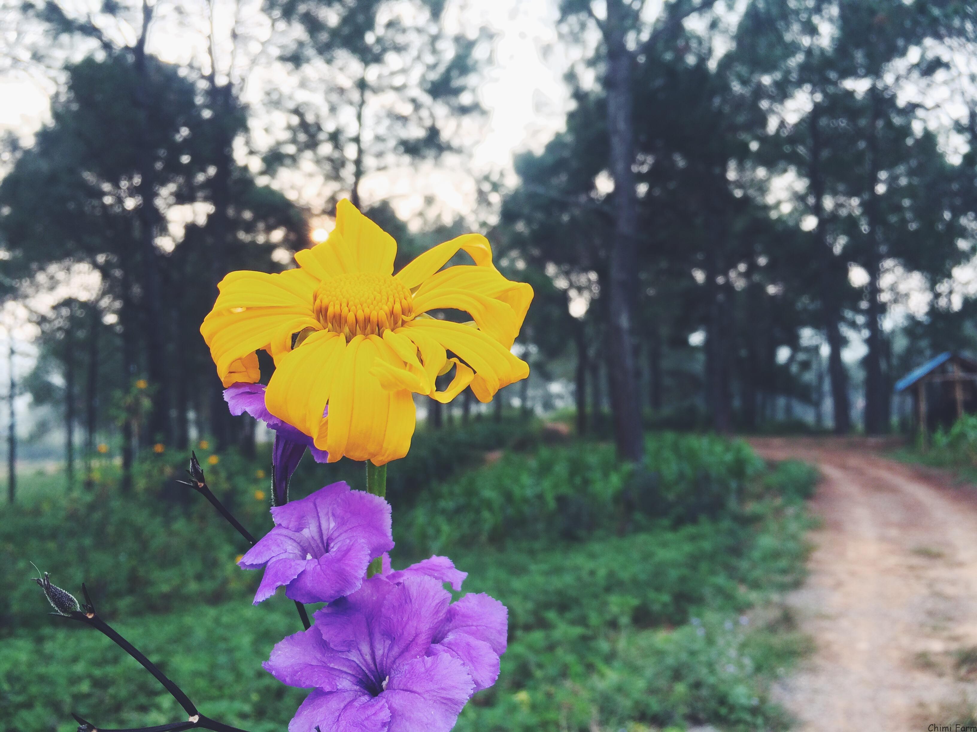 Dã quỳ Mộc Châu là một loài hoa dại của núi rừng Tây Bắc