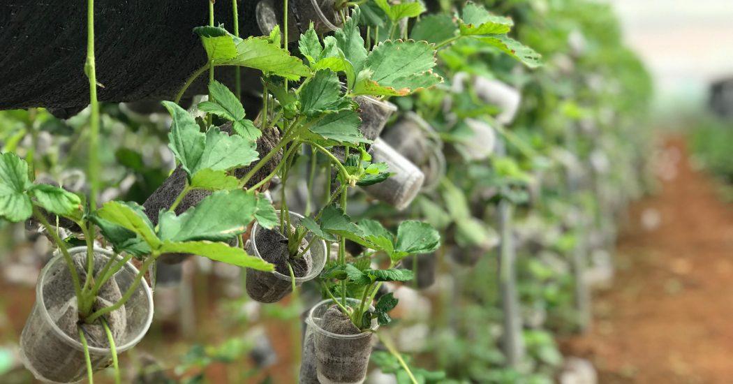 Cách lấy cây dâu tây giống tại trang trại Chimi Farm