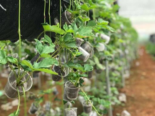 Cây giống được ươm tại Chimi Farm