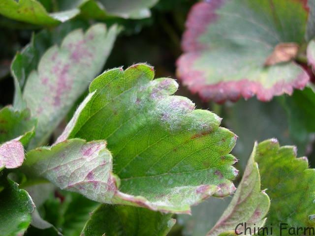 Những bệnh trên cây dâu tây thường gặp nhất