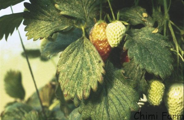 Kỹ thuật trồng, chăm sóc và thu hoạch dâu tây tại Chimi Farm.