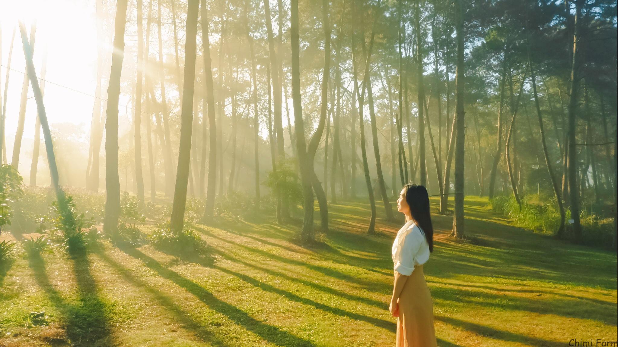 Ánh nắng xuyên qua những tán lá thông đẹp như một bức tranh