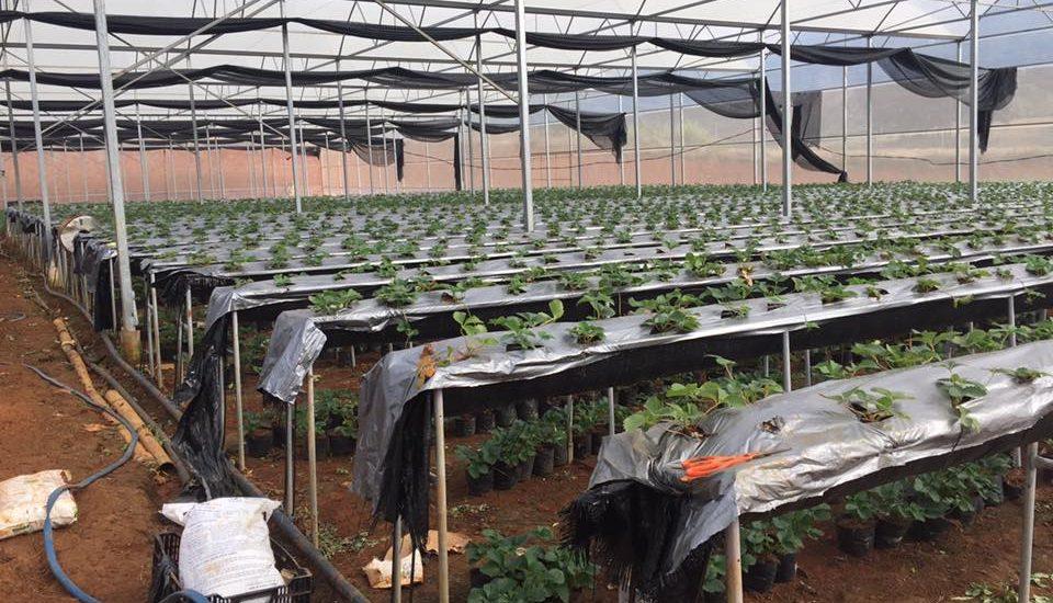 Phương pháp thủy canh được áp dụng tại trang trại dâu tây Chimi Farm