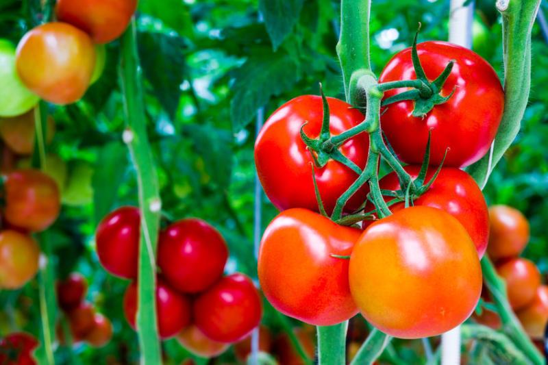 Cà chua cũng là nông sản sạch nổi tiếng tại Mộc Châu