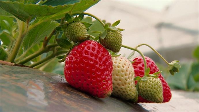 Những trái dâu tây Mộc Châu chín đỏ mọng của Chimi Farm