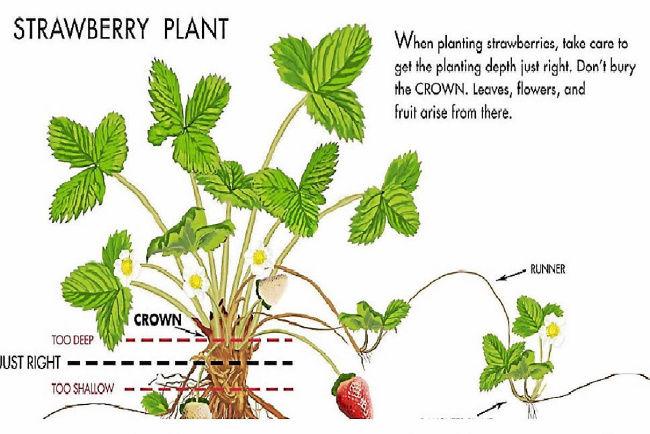 Chi tiết bộ phận cây dâu tây phát triển