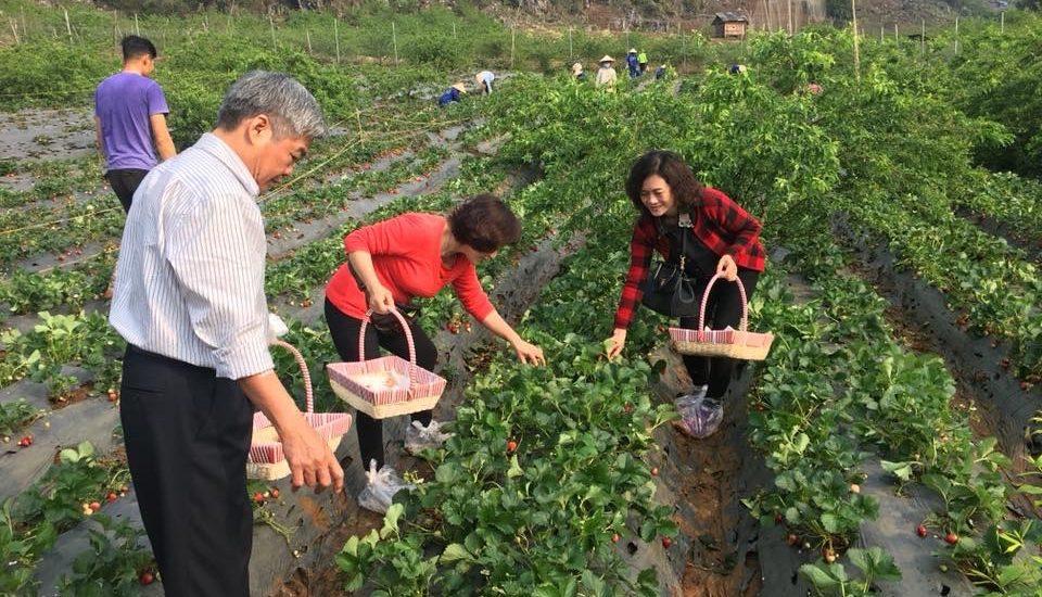 Du khách được tự cầm dỏ đi hái dâu tây Nhật Bản tại trang trại