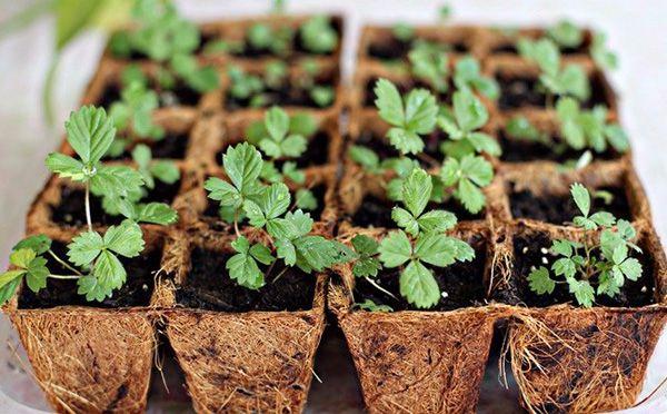 Địa chỉ bán cây dâu tây giống chất lượng, giá rẻ trên thị trường