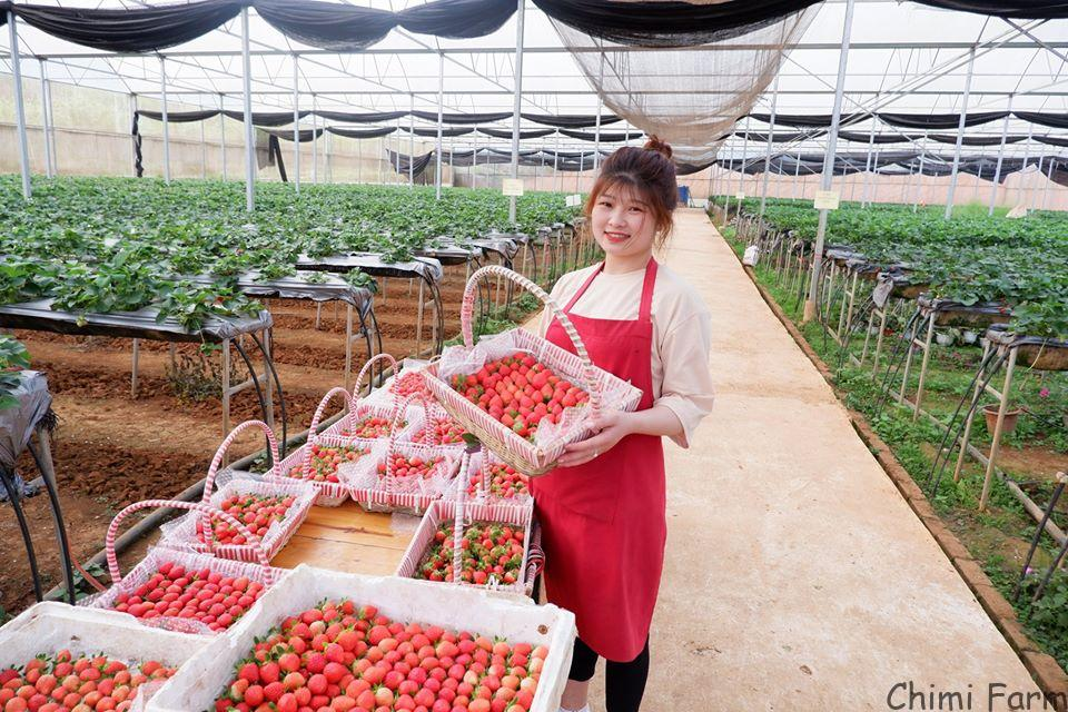 Thu hoạch dâu tây hàng ngày tại Chimi Farm