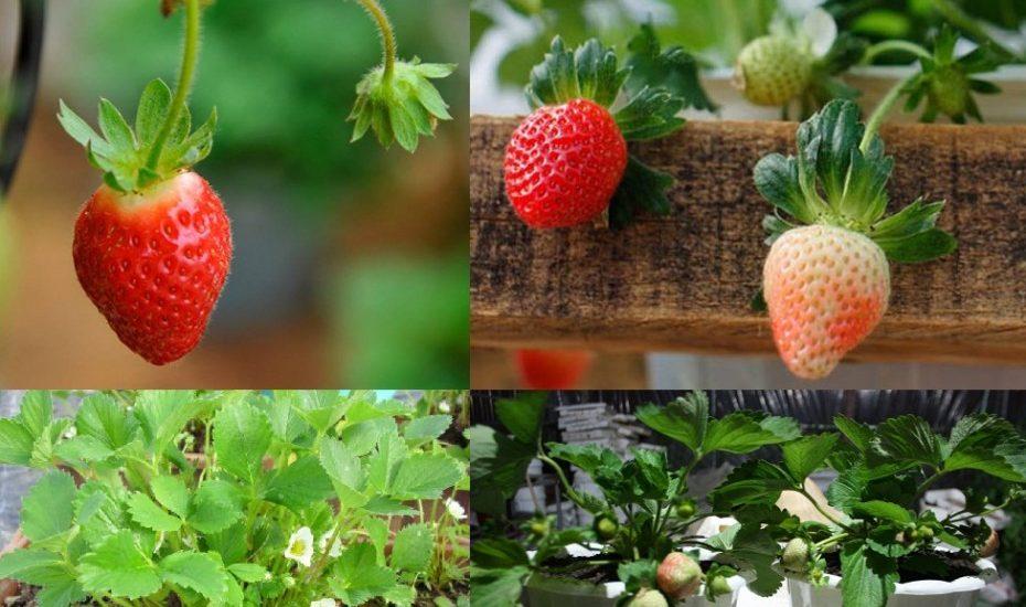 Trồng dâu tây tại nhà  Liên hệ mua cây dâu tây giống, tư vấn kỹ thuật 082.989.1110