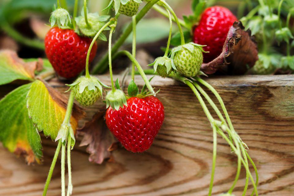 Hướng dẫn cách trồng dâu tây trong chậu sai trĩu quả
