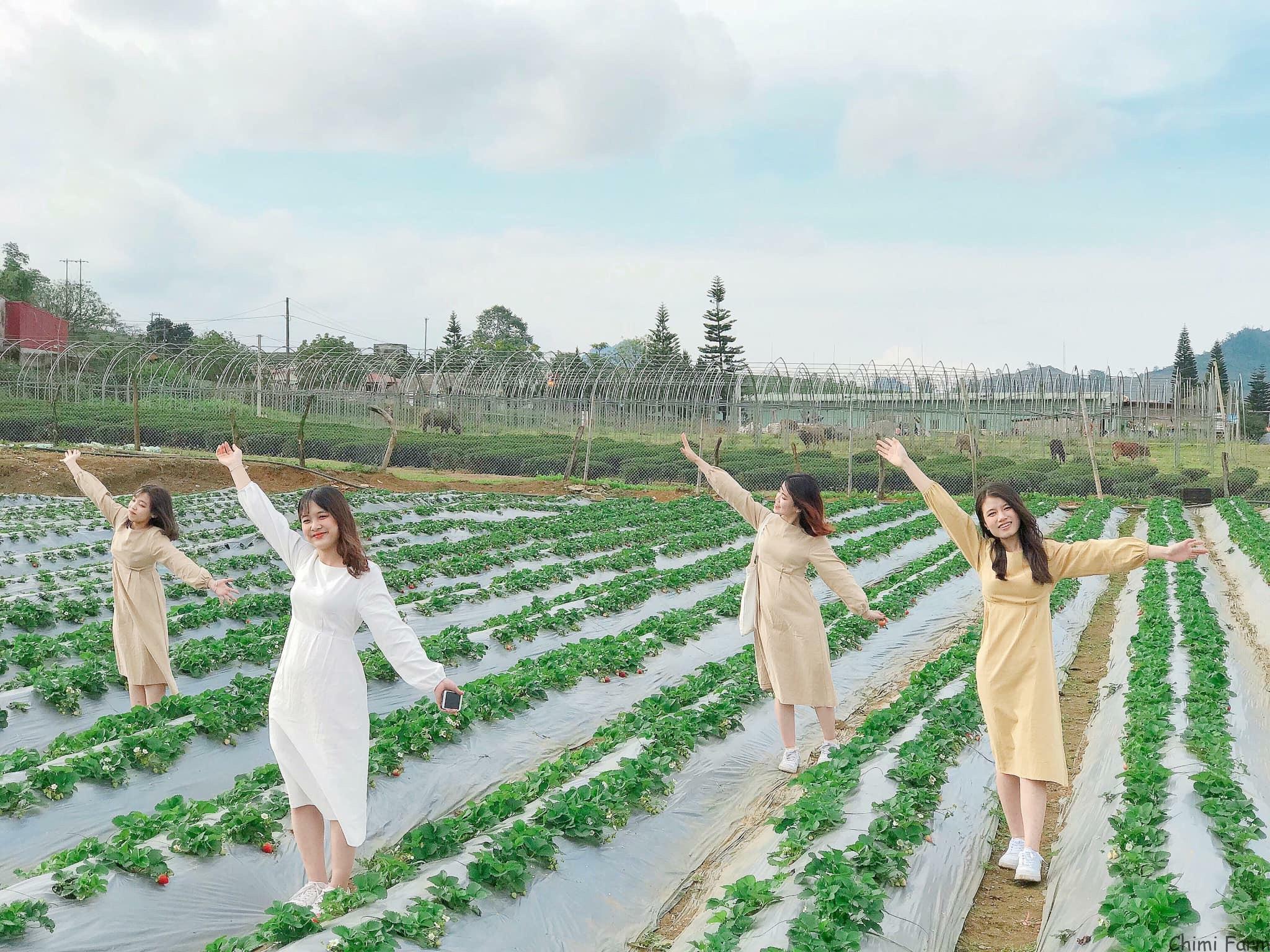Những vườn dâu tây chín đỏ tại Mộc Châu đang là điểm check-in cực hot