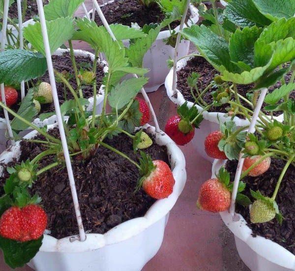Cách trồng và chăm sóc dâu tây chịu nhiệt tại thành phố lớn