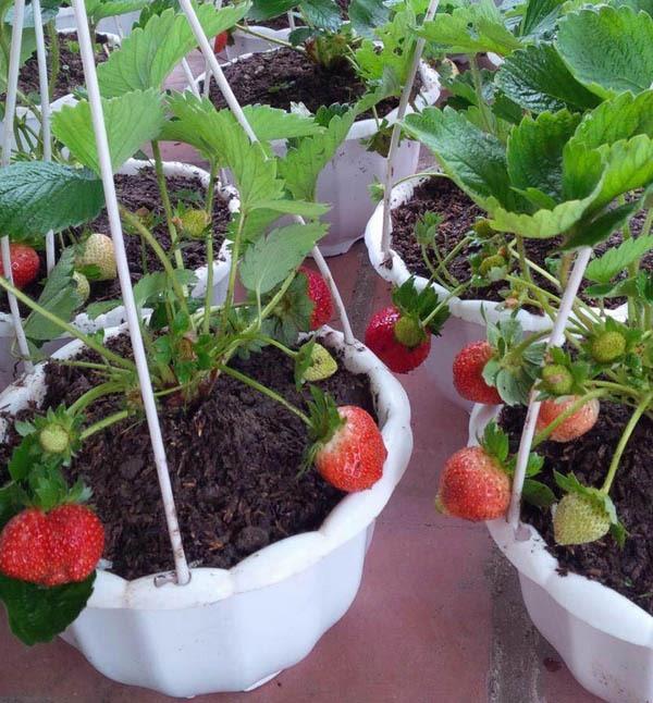 Hướng dẫn cách trồng dâu tây trong chậu
