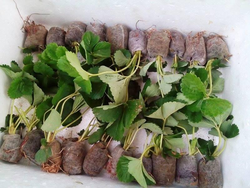 Cây giống dâu tây con của Trang trại dâu tây Chimi