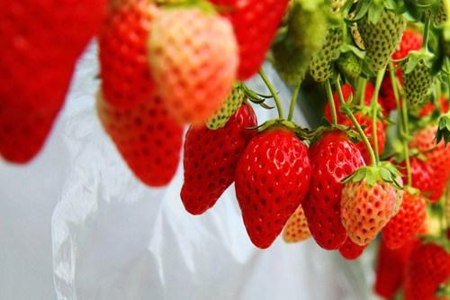Dâu tây Nhật Bản khi chín có màu đỏ tươi quả thon dài