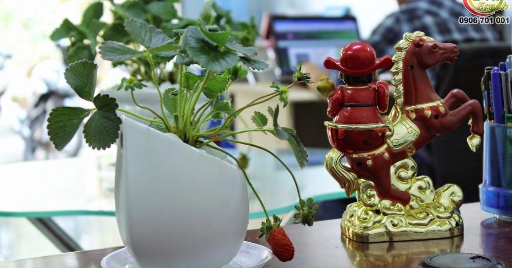 Hình ảnh chậu cây dâu tây cảnh tại văn phòng