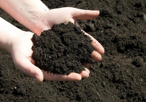 Tạo đất tơi xốp cho cây dâu tây bám rễ và sinh trưởng