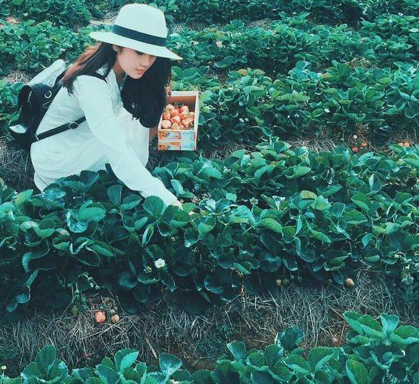 Du khách vào hái dâu tây miễn phí tại vườn trồng dâu
