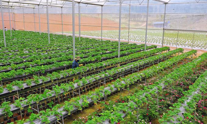 Trong nhà kính Chimi farm trồng dâu theo phương pháp thủy canh