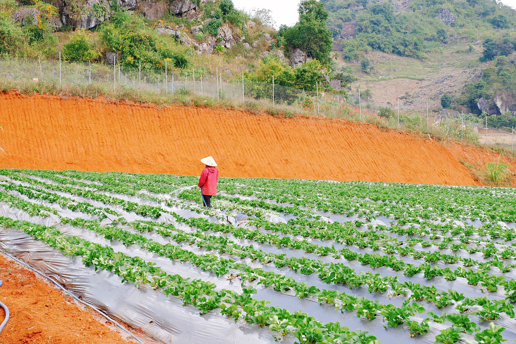 Người nông dân đang chăm sóc cây dâu tây