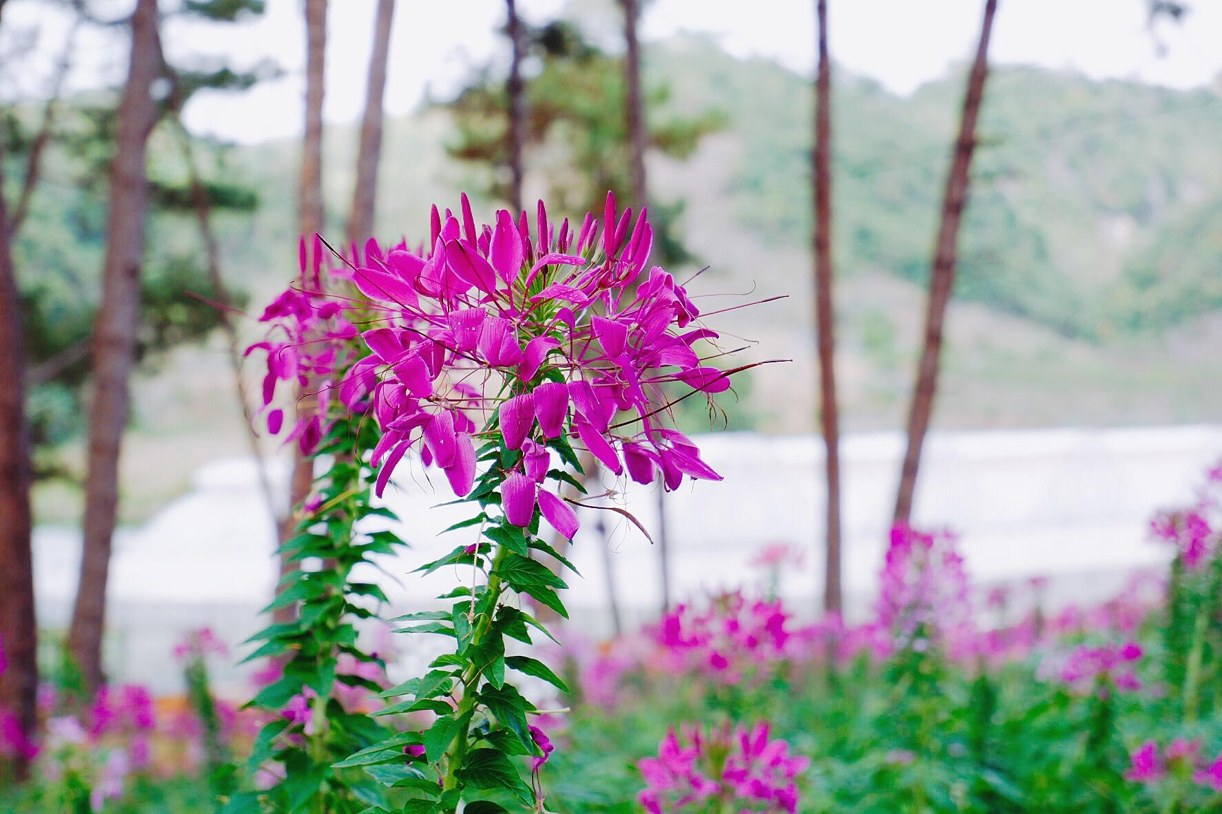 Hoa có tên khoa học là Cleome Spinose