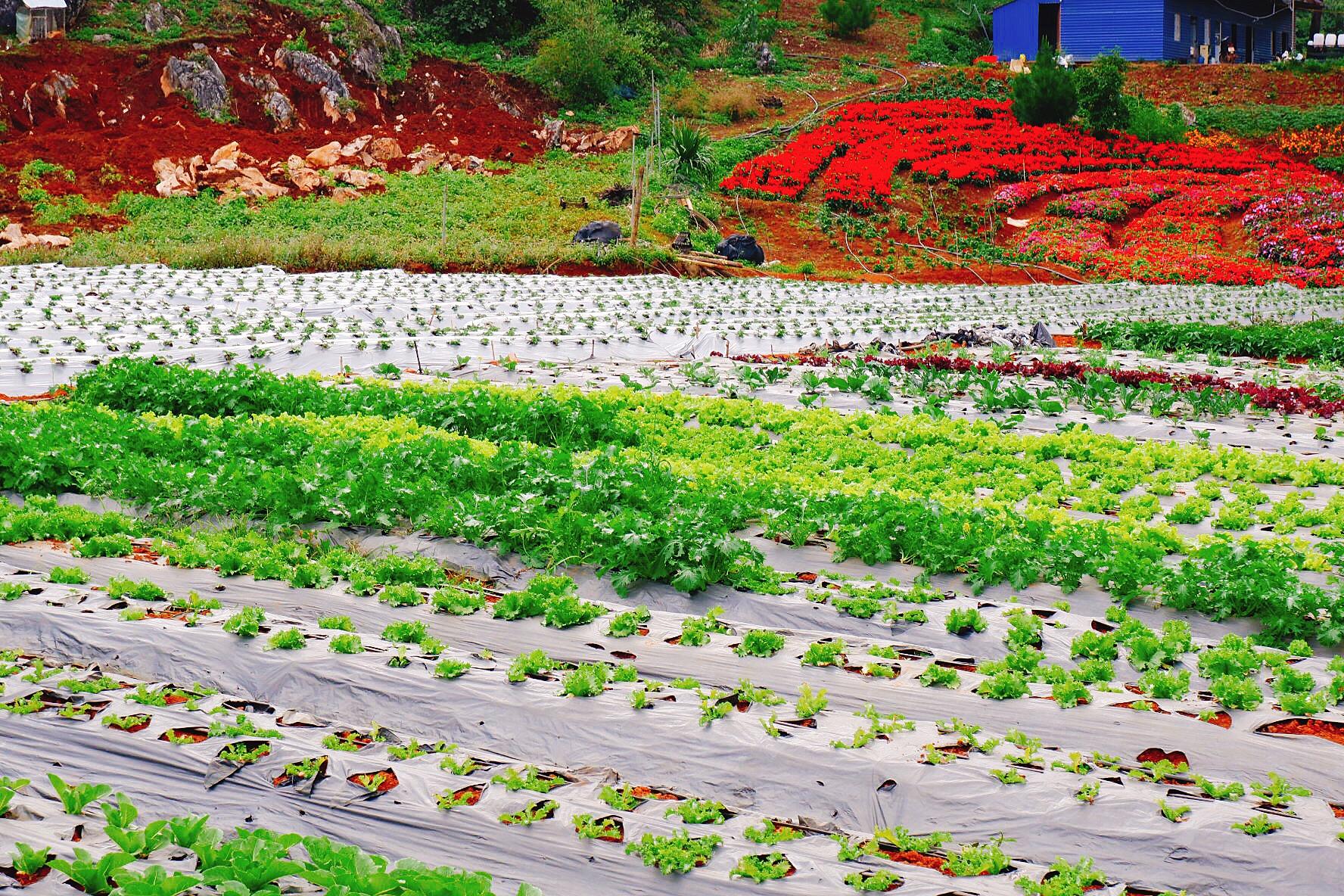 Vườn rau xanh mướt của Chimi