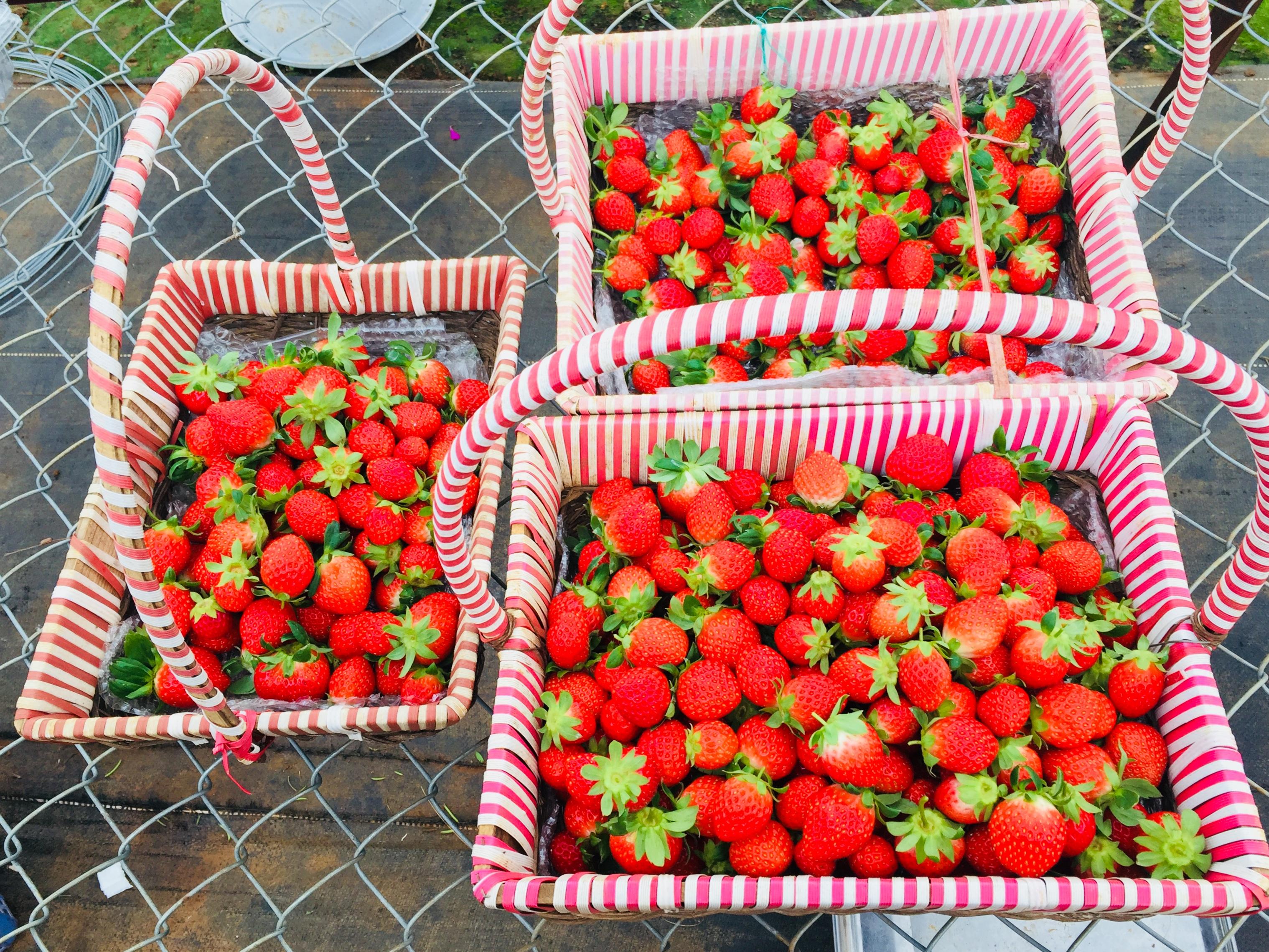 Dâu tây Chimi Farm được trồng theo tiêu chuẩn VietGAP