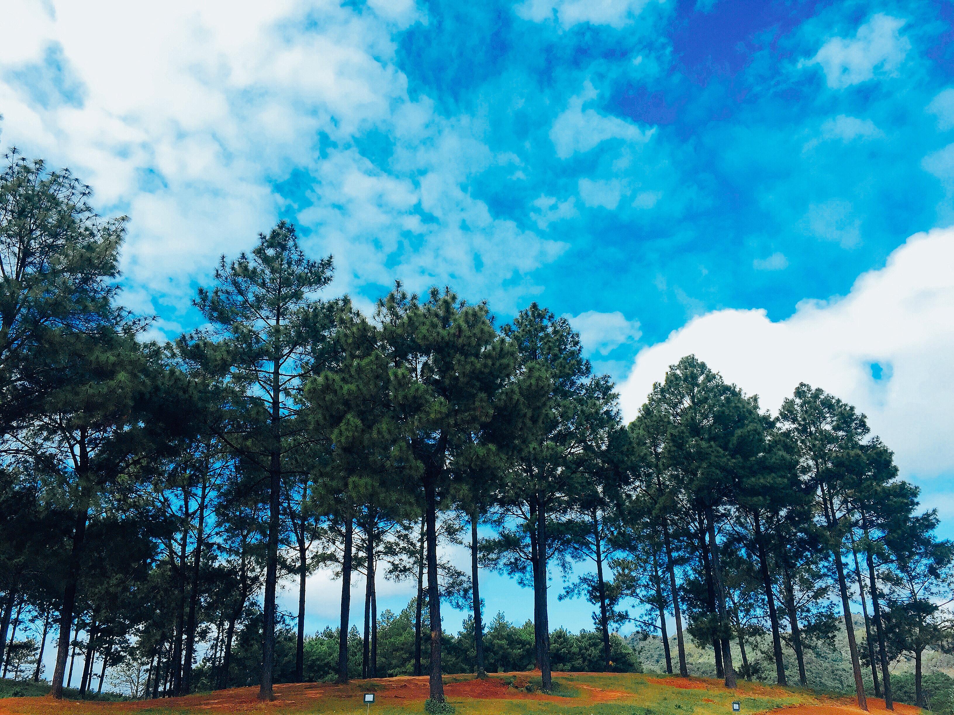 Rừng thông Bản Áng là điểm du lịch nổi tiếng tại Mộc Châu