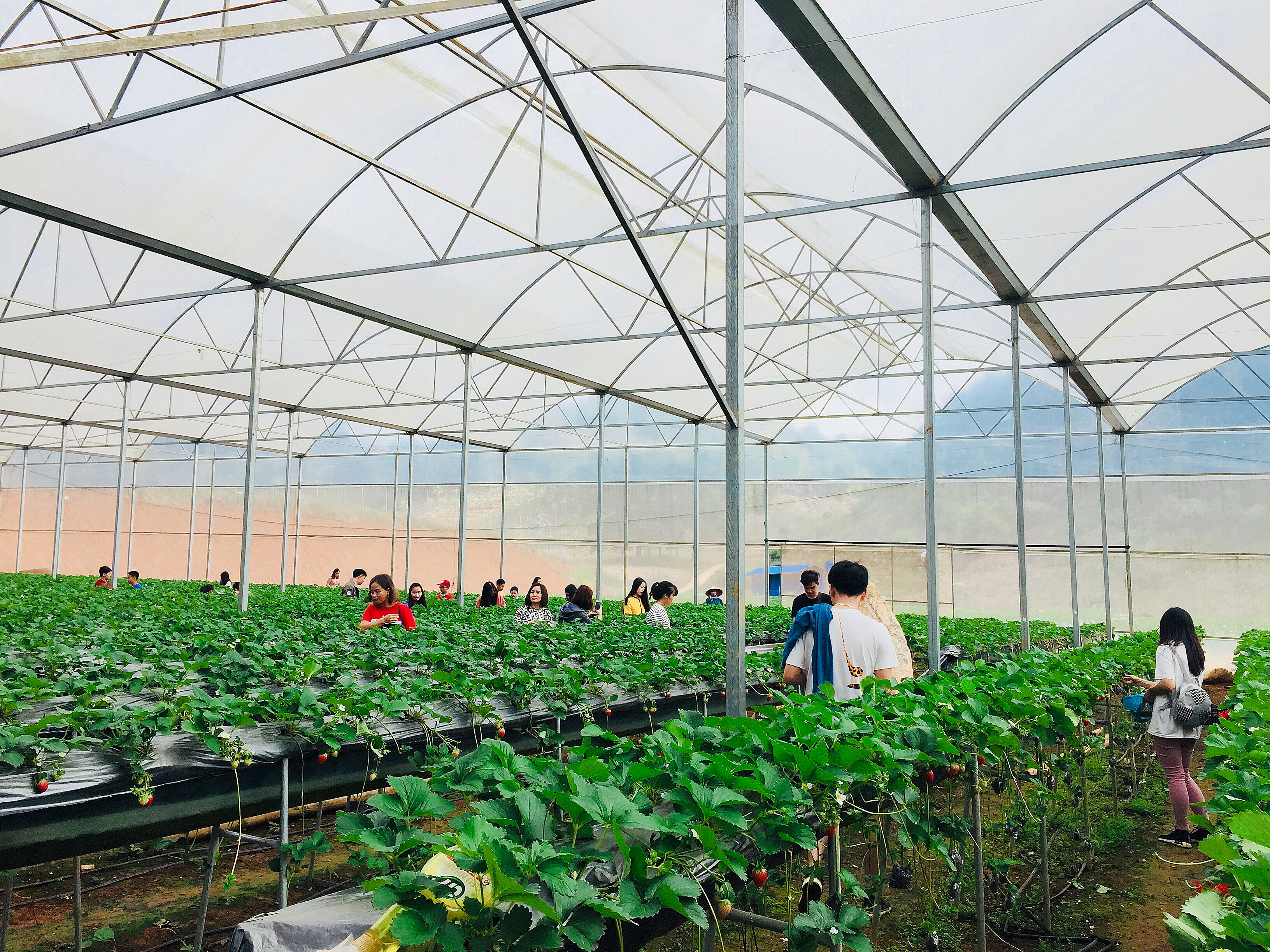 Nhà kính trồng dâu tây của Chimi Farm
