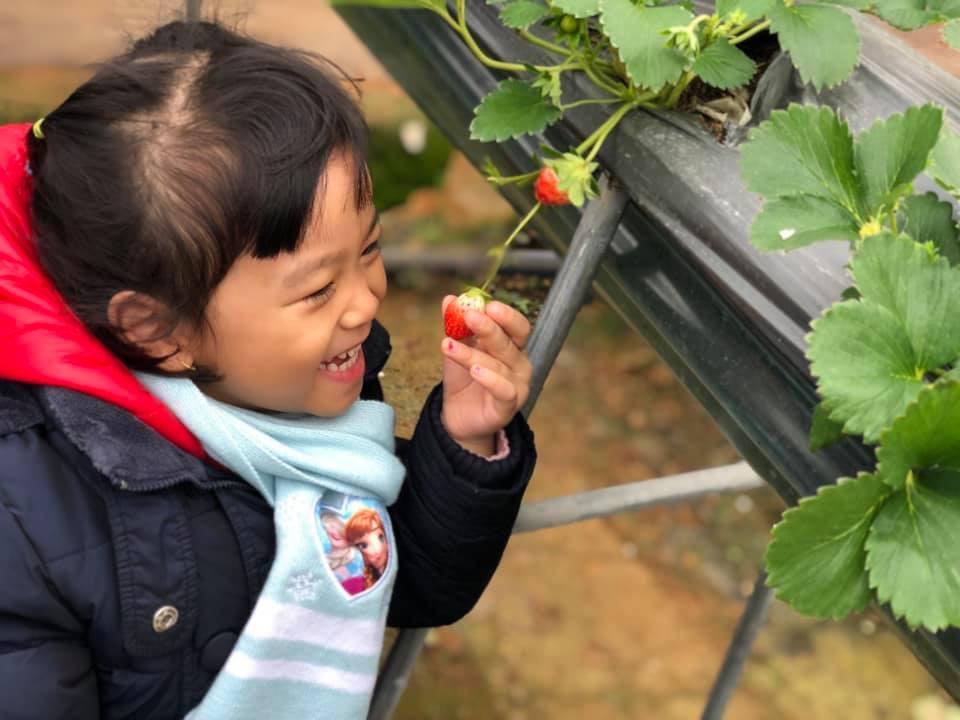 Các bé rất thích thú khi được tự tay hái dâu tây tại Chimi Farm