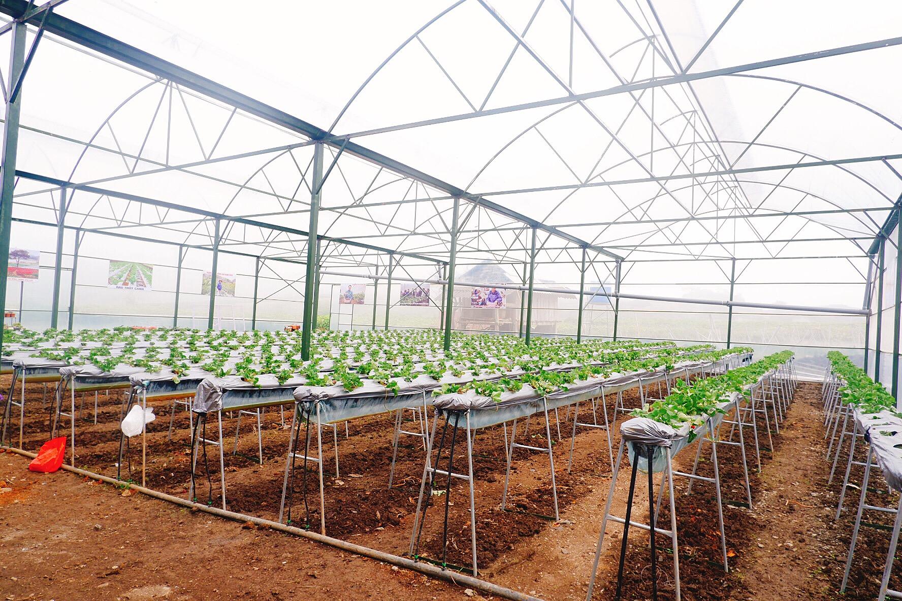 Dâu tây trồng trong nhà kính