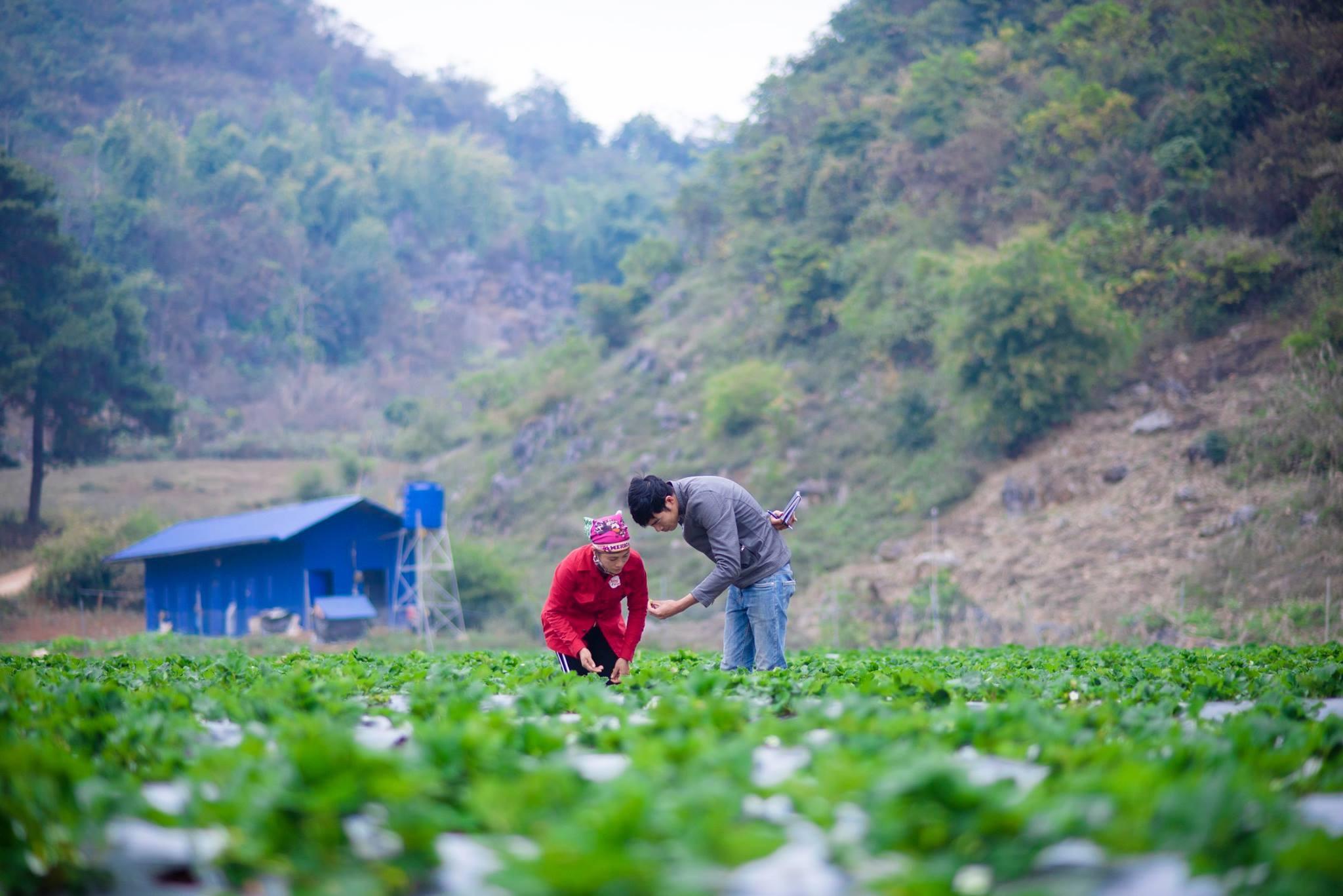 Anh Nguyễn Công Toàn (kỹ sư nông nghiệp) của Chimi Farm đang hướng dẫn công nhân thu hoạch dâu tây