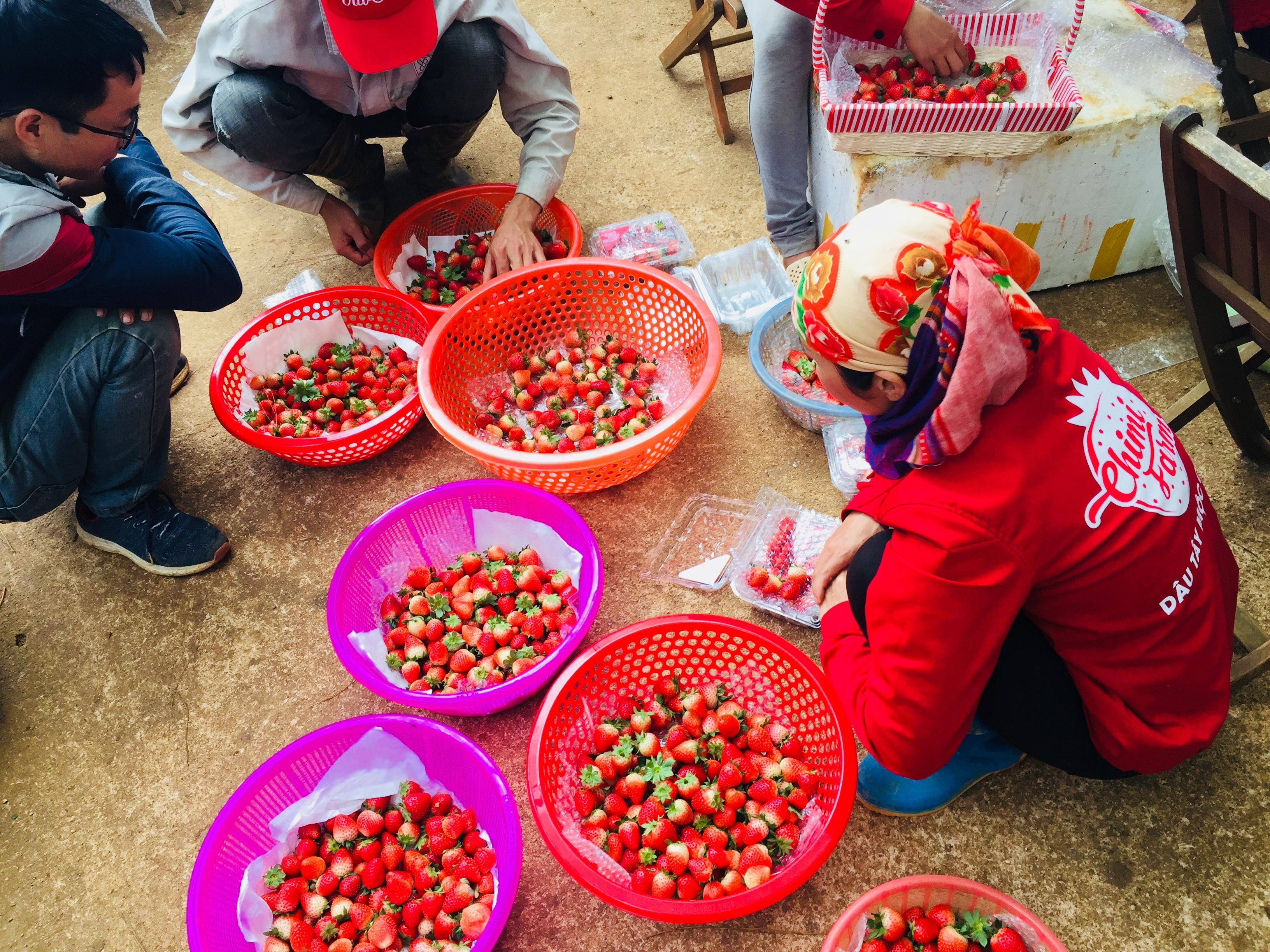 Công nhân tại Chimi Farm đang phân loại dâu tây