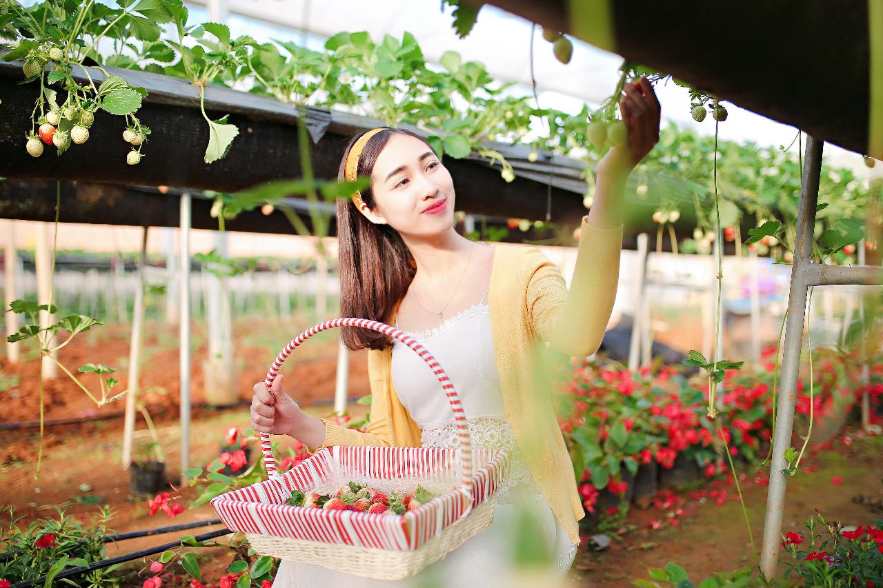 Trải nghiệm hái dâu tại trang trại dâu tây Chimi