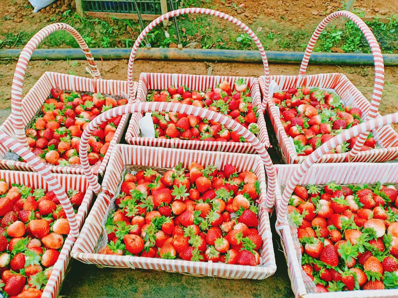 Những trái dâu tây Tochiotome của Nhật Bản vừa được thu hoạch tại Chimi Farm