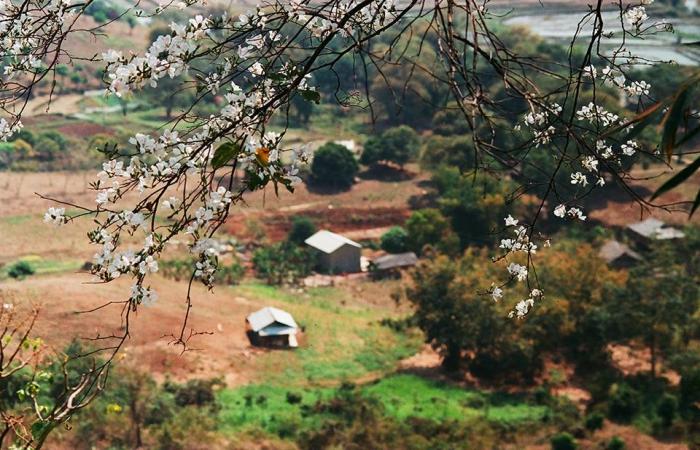 Hoa Ban nở khắp các bản làng ở Mộc Châu