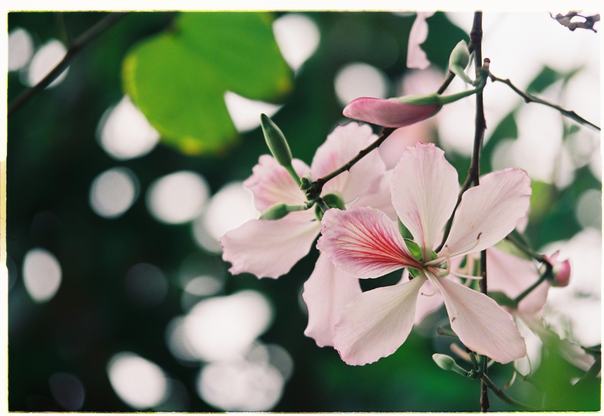 Hoa Ban cánh mỏng có màu trắng xen lẫn chút tím nhẹ
