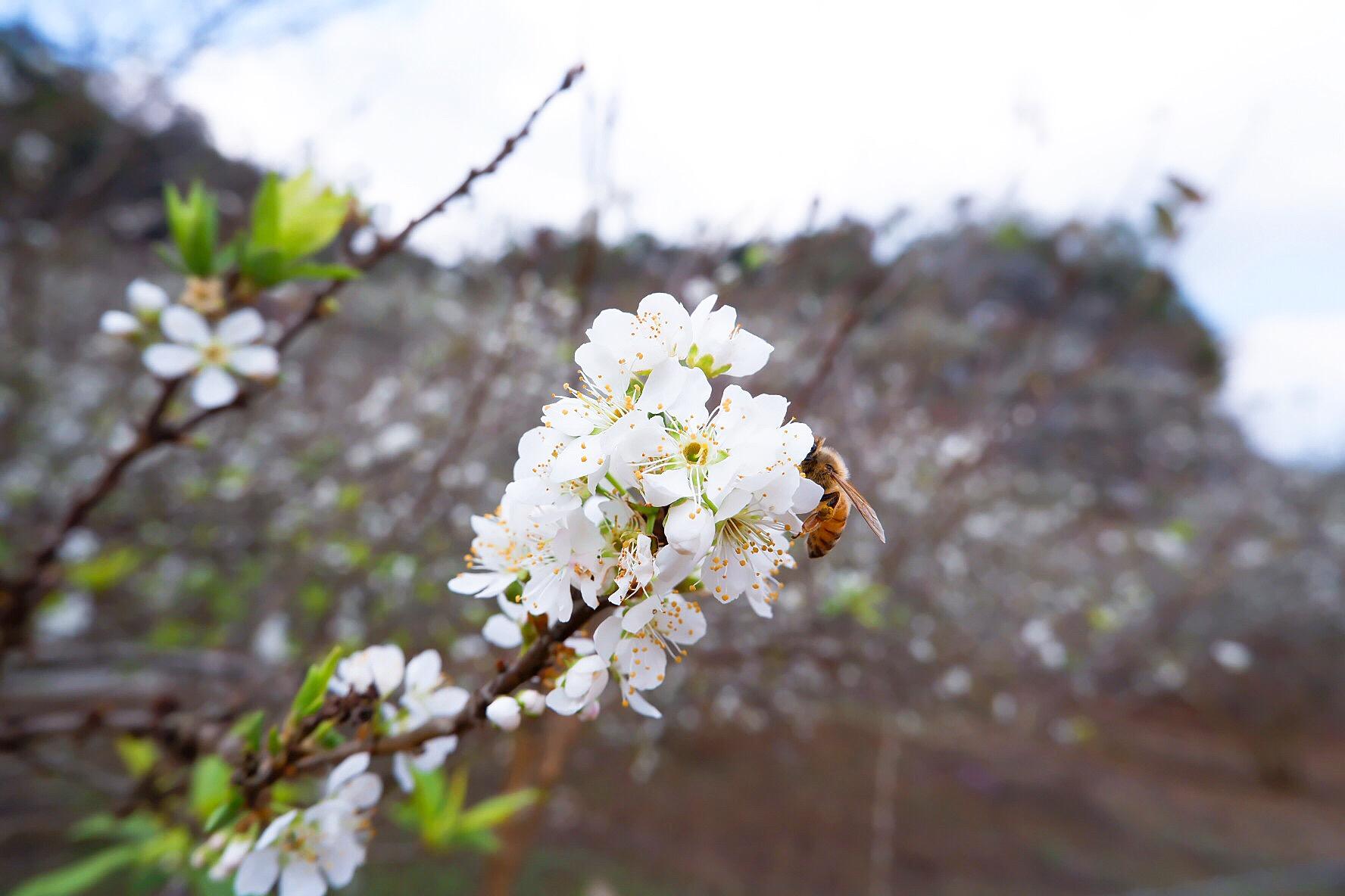 Hoa mận trắng là điểm thu hút khách du lịch đến với Mộc Châu mỗi khi xuân về